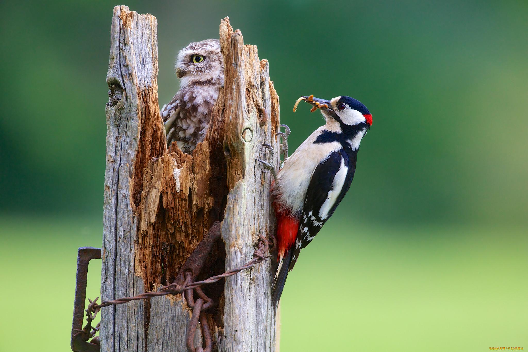 животные, птицы, сова, дятел, сыч